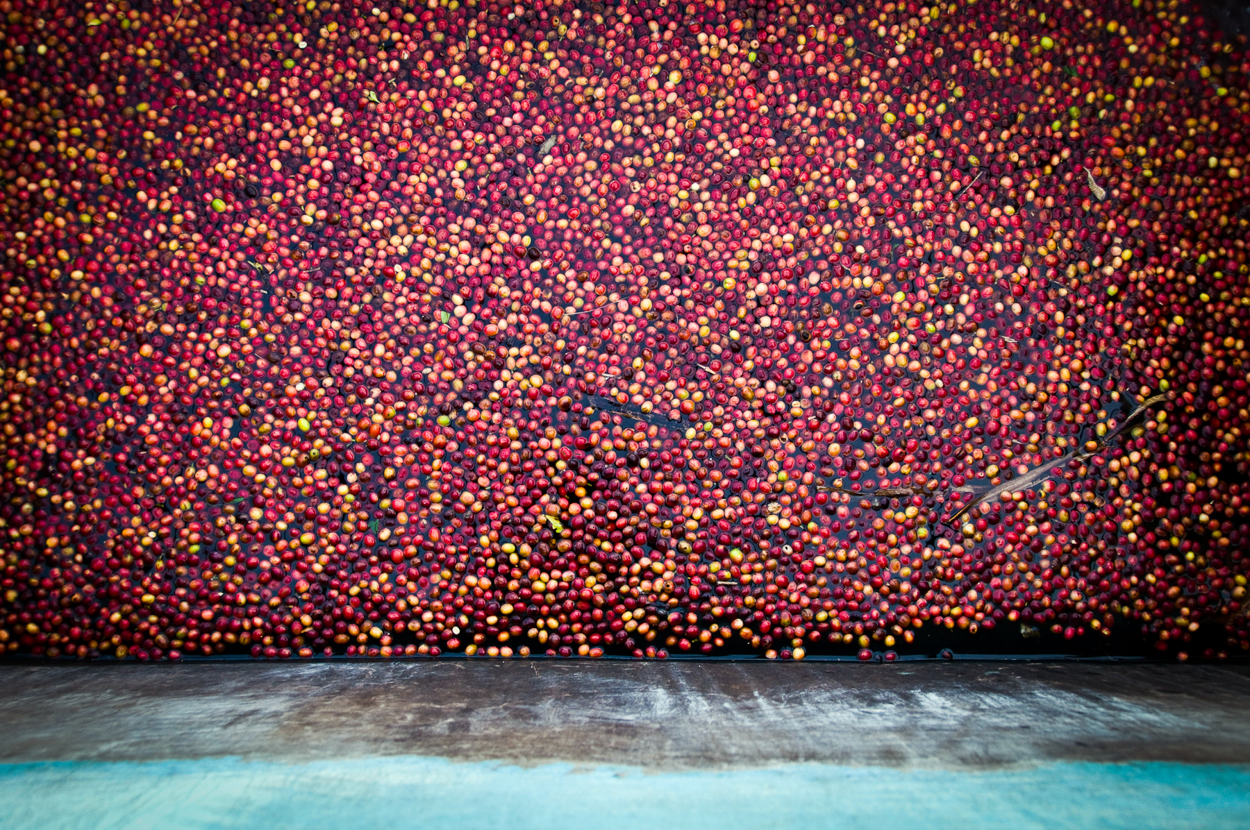 Premium coffee differs from regular coffee in two ways: It must be washed thoroughly, and it must score at least 80 points on a quality scale. Here, freshly picked coffee cherries are washed and sorted by weight at the Nyarusiza Coffee Washing Station.