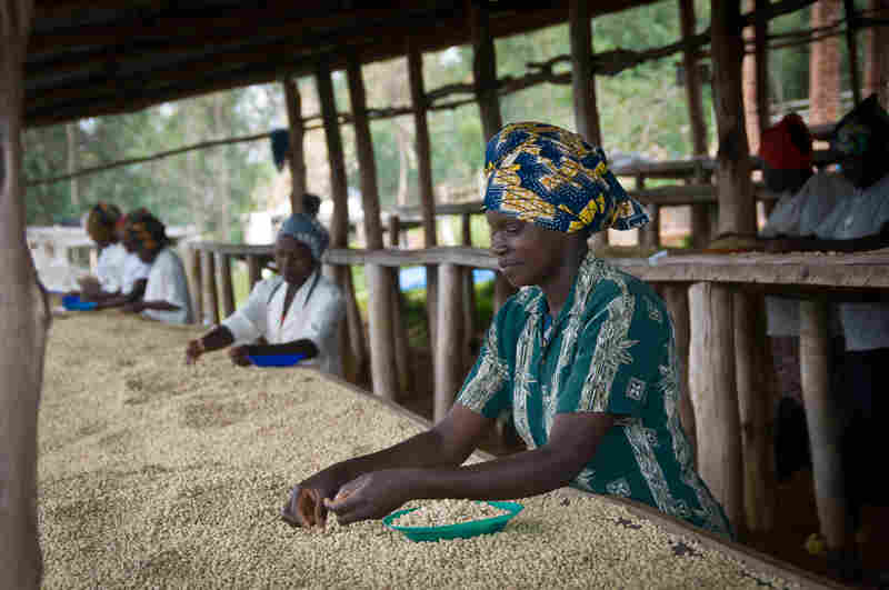 Sorting the beans for quality is mostly done by women, who earn about $1.25 per day.