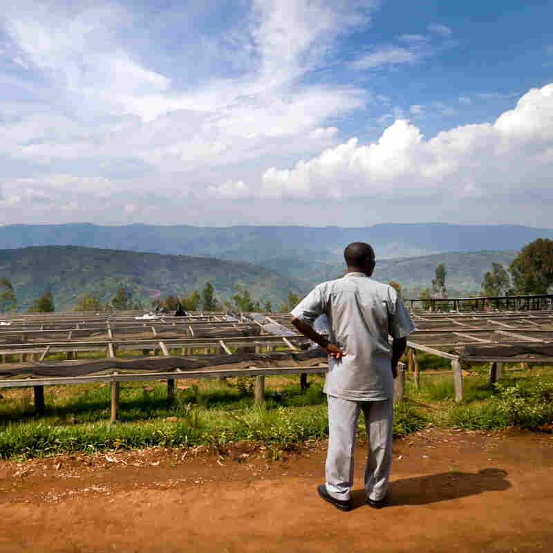 Welcome to Rwanda's coffee land, where some of the world's best coffee is grown. Here, Minani Anastase, president of Musasa Coffee Cooperative in northern Rwanda, looks over the coffee drying tables.