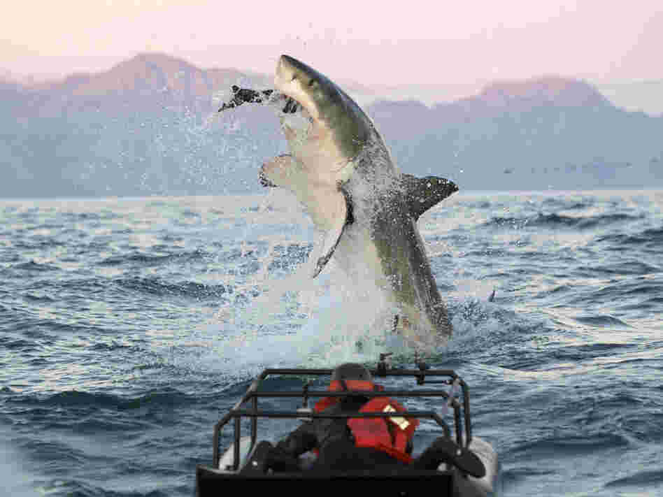 "In a scene from the ""Shark Week"" show Air Jaws Apocalypse, a great white shark goes after a seal."