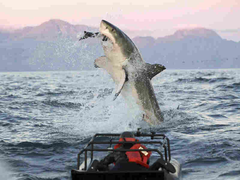 """In a scene from the """"Shark Week"""" show Air Jaws Apocalypse, a great white shark goes after a seal."""