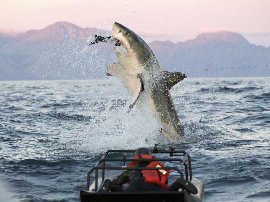 "In a scene from the ""Shark Week"" show <em>Air Jaws Apocalypse</em>, a great white shark goes after a seal."
