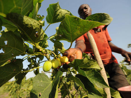 A man harvests fruits of the Jatropha tree in Taabo, Ivory Coast. Jatropha, which is grown in many parts of the world, has fallen from favor as a diesel fuel substitute.