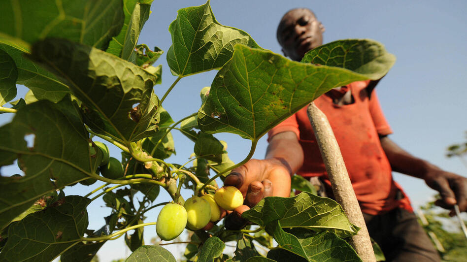 A man harvests fruits of the Jatropha tree in Taabo, Ivory Coast. Jatropha, which is grown in many parts of the world, has fallen from favor as a diesel fuel substitute. (AFP/Getty Images)