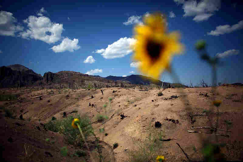 Wildflowers and weeds dot a once-forested landscape. The suppression of natural forest fires during the past century has set the stage for devastating megafires, setting new records in size and intensity.