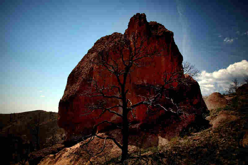 The skeletal remains of a tree are seen in front of a boulder in the Dome Wilderness area.
