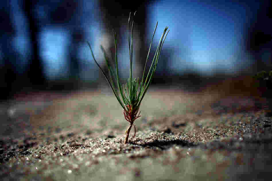A budding Ponderosa pine tree sprouts up in the burn zone, a sliver of hope for potential forest regrowth.
