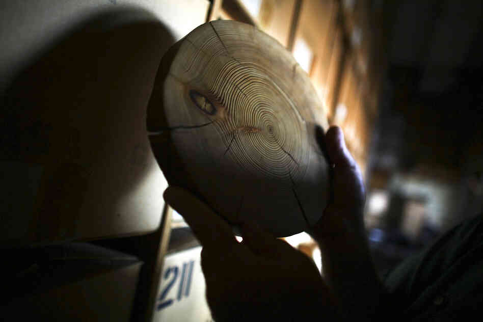 A perfect tree-ring slice is a window in time, a slice of a forest's history.