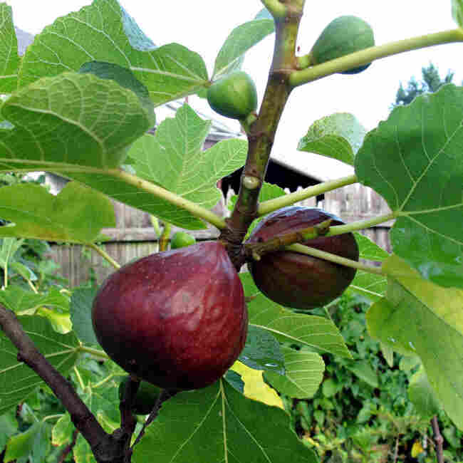 One of Bassem Samaan's Pan e Vino fig trees, propagated from the yard of an Italian restaurant in Bethlehem, Pa.