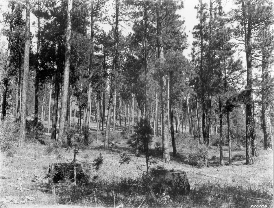 1927. 18 years later. Two willows in the 1909 scene have grown considerably and now contain many dead branches. Other willows have become established in midground, while young ponderosa pine can be seen in localized areas. The herbaceous ground cover persists. Taken later in the season, this view pictures basalmroot at a cured stage of growth. Note fire-scarred stump on the right.  (U.S. Forest Service)