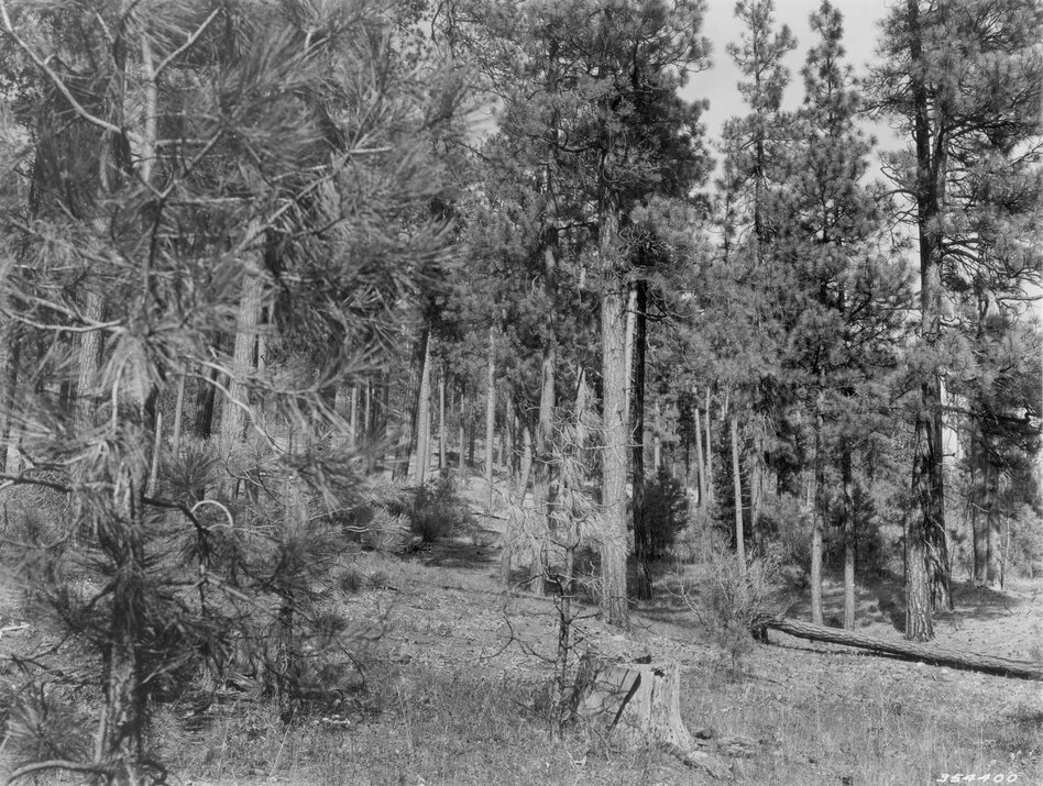 1938. 29 years later. Young pine growth is beginning to occupy localized sites in the understory. A tree on right has blown down, and the willow in the foreground that was present in 1909 has become senescent. In the foreground, the low shrub component is less evident, but this may be a seasonal difference. (U.S. Forest Service)