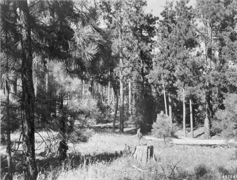 1948. 39 years later. Two mature pines have fallen to the ground. Growth of young pines are closing in portions of the understory. Young pine at right foreground is screening senescent willow. Herbaceous plants and snowberry in foreground have put on good growth.