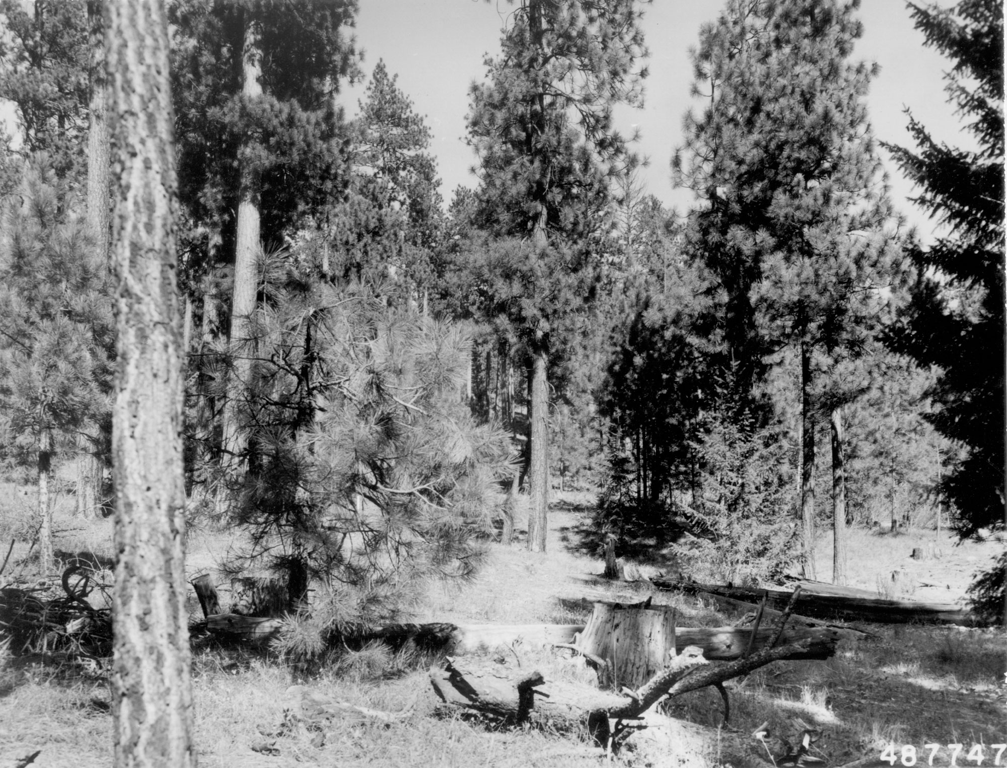 1958. 49 years later. A shelterwood cut in 1952 removed several of the merchantable trees and left slash on the ground. Plants occupying sites near left edge of photo appear to be betterbrush.
