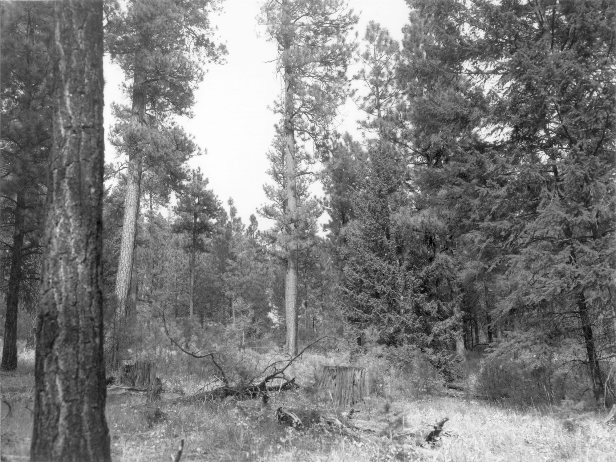 1979. 70 years later. Rapid establishment and growth of new conifers has screened the open view of 1968. Growing conditions for bitterbrush and willow have deteriorated because of competition for sunlight and moisture. Partial cutting and thinning in 1952, 1955, 1962, and 1966 have allowed more conifer regeneration than the early, light 1906-9 cut.