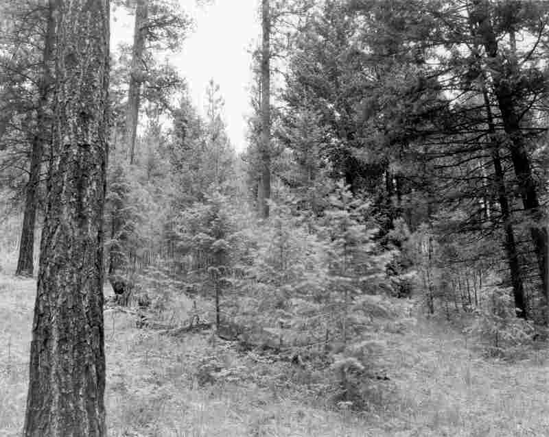 1997. 88 years later. This stand was not subject to management activities in 1992 and 1993. Note the rapid growth of the Douglas-fir trees in the foreground since 1989, masking the view of the slower growing ponderosa pines in the background. Undergrowth is primarily pinegrass and dogbane.