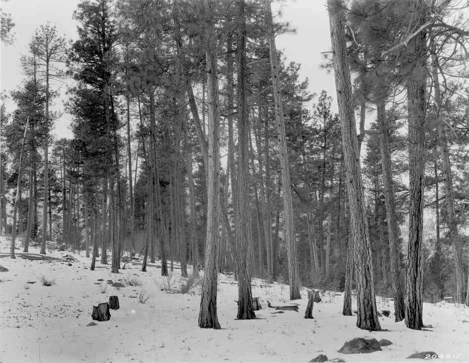 1925. 16 years later. Bitterbrush plants on left and willow in distance, more evident in the winter scene, have increased in size. Young conifers are beginning to fill the understory in the background.