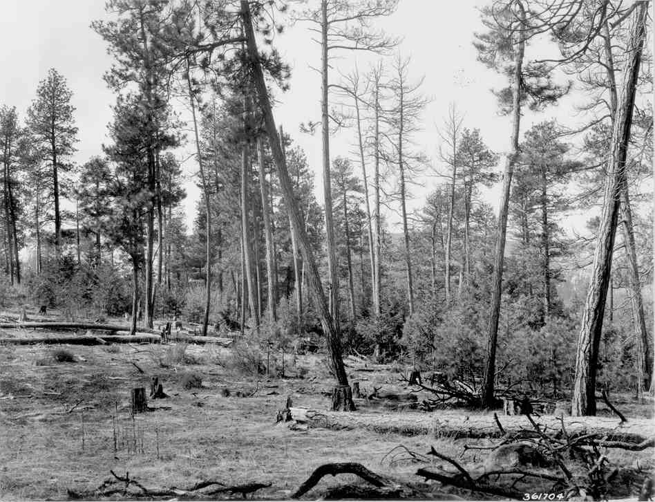 1938. 29 years later. Several pines in foreground have been cut, some have died, and others have fallen. Ponderosa pine and Douglas-fir regeneration is profuse, while the willow in the distance is larger. Bitterbrush has increased, but regeneration appears minimal. Slash and windfall have resulted in an increase in heavy fuels. Mullein can be seen in foreground for the first time.