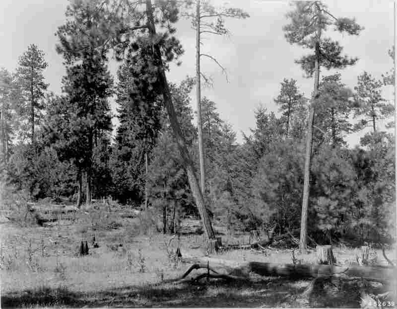 1948. 39 years later. Open view is screened by growth of young conifers. Bitterbrush plants have continued to grow, but are beginning to receive competition from conifers for space. Willow in distance has been overtopped by conifers. Dead trees have toppled, adding to fuel load. Slash in foreground has decomposed somewhat, while basalmroot is not evident and mullein has increased.