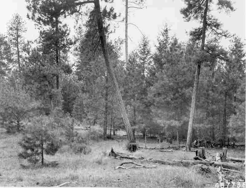 1958. 49 years later. Growth of young ponderosa pine and Douglas-fir dominate skyline, thereby obscuring view of the few remaining mature ponderosa pine in the distance. Competition by young pines in foreground has apparently caused several of the bitterbrush plants to deteriorate. Heavy ground fuels show considerable decomposition.