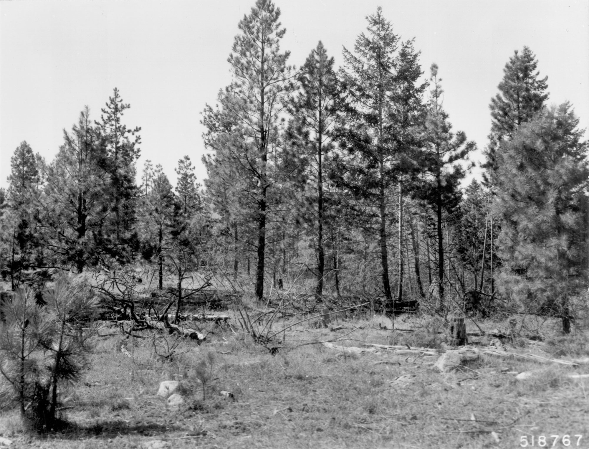 1968. 59 years later. Precommercial thinning and pruning in 1968 removed mature pines and opened up young pine stand. This benefitted some bitterbrush plants, but those in left foreground under and near leave trees show further deterioration. Slash has added to heavy fuels, while down material is more decomposed.