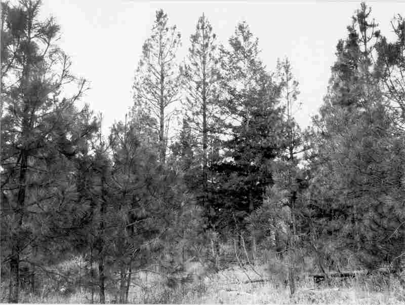1979. 70 years later. Understory is dominated by increased pine growth that is shading out bitterbrush. Past disturbance has allowed knapweed to predominate in foreground.