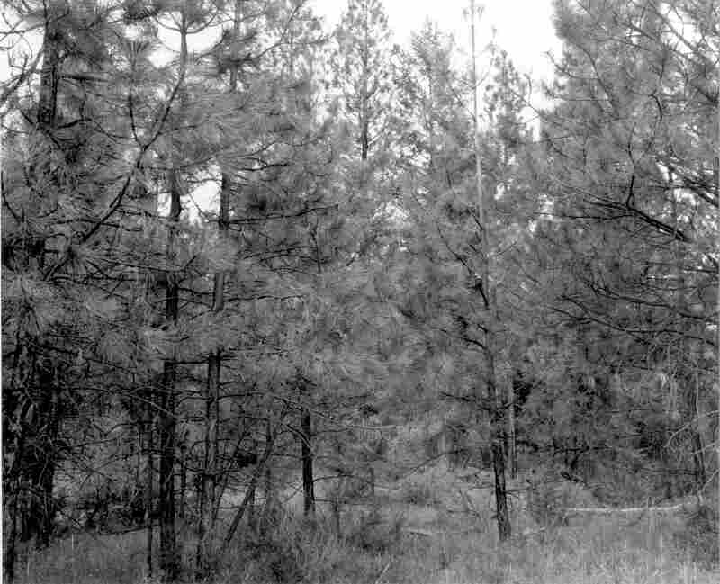 1989. 80 years later. Growth of trees in the foreground has reduced the view. A few bitterbrush plants can be seen in the center of the stand, along with some grasses.