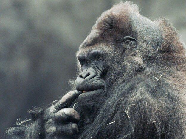 Ivan chews on his finger at Zoo Atlanta in 1996. (AP)