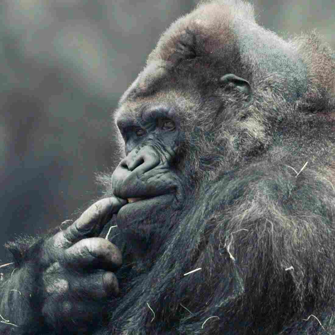 Ivan Dies At 50: A Gorilla Life, Remembered