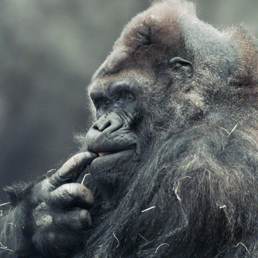 meet u0027ivan u0027 the gorilla who lived in a shopping mall npr