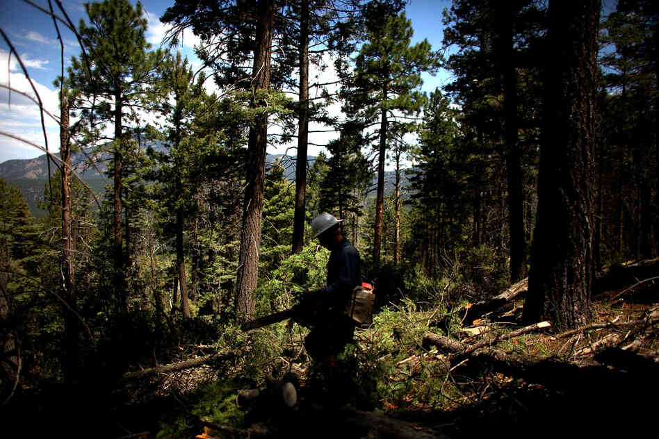 A forest-thinning operation in Los Griegos Peak.