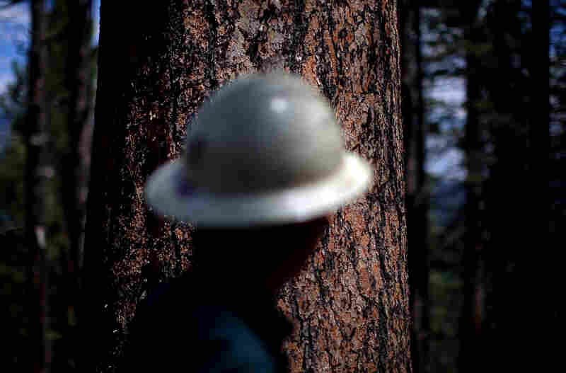Armstrong stands in front of a Ponderosa pine, locally known as a yellow belly pine.