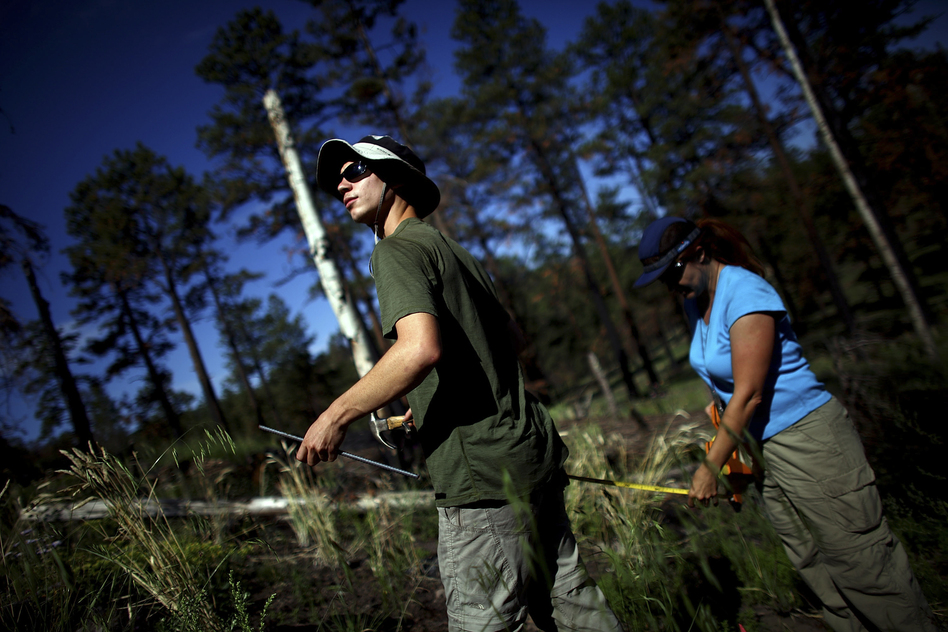 Timmons and Springer work in the Apache-Sitgreaves National Forests, which were burned during last year's Wallow Fire. The largest fire in Arizona history, Wallow barreled through a half-million acres of forest. (NPR)