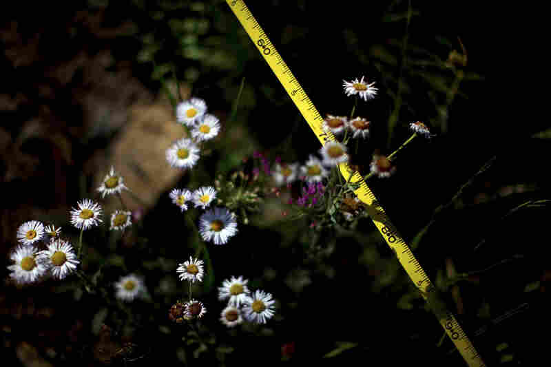 Ecologists use tape measures to track regrowth following last year's Wallow Fire.