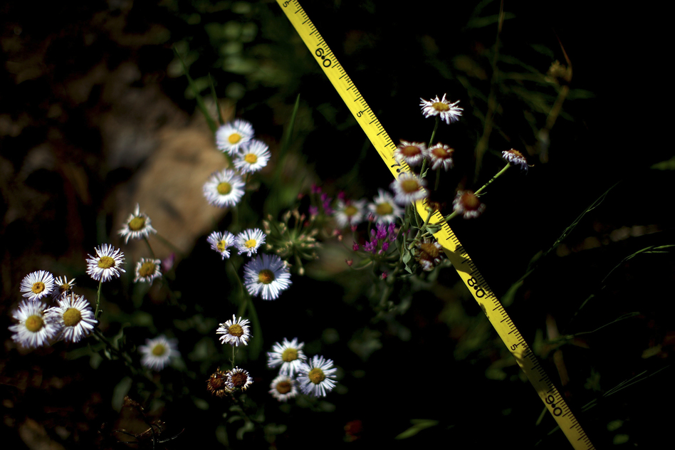 Ecologists use tape measures to track regrowth following last year's Wallow Fire. (NPR)