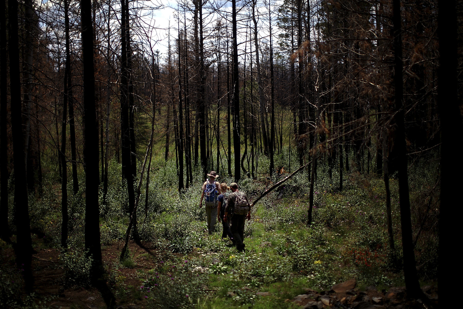 A team of students from Northern Arizona University walks through a clearing on the way to a remote location they are studying in the Apache-Sitgreaves National Forests. (NPR)
