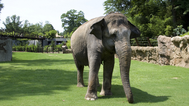 Shanthi explores her yard at the Smithsonian National Zoo in Washington, D.C., in 2010. The 36-year-old Asian elephant loves blowing into a harmonica. (Smithsonian Institution)