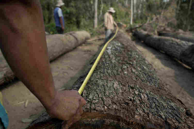A worker measures logs. They will be trimmed if they are deemed too long for transport.