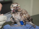 Taking care of a young burrowing owl with a broken leg.