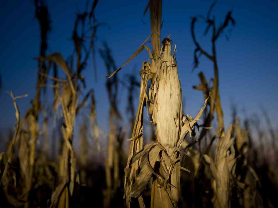Drought has taken a toll on corn this year, and as a result, a growing number of ethanol plants h