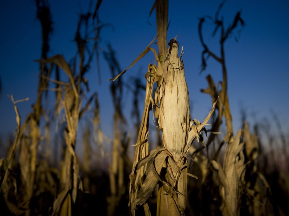Drought has taken a toll on corn this year, and as a result, a growing number of ethanol plants have closed.