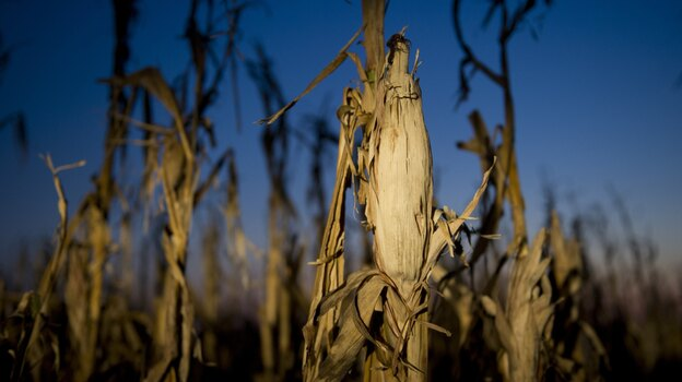 Drought has taken a toll on corn this year, and as a result, a growing number of ethanol plants have closed. (AFP/Getty Images)