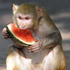 A rhesus monkey eats watermelon, provided by zookeepers, at the Kamla Nehru Zoological Gardens in India in May 2012.