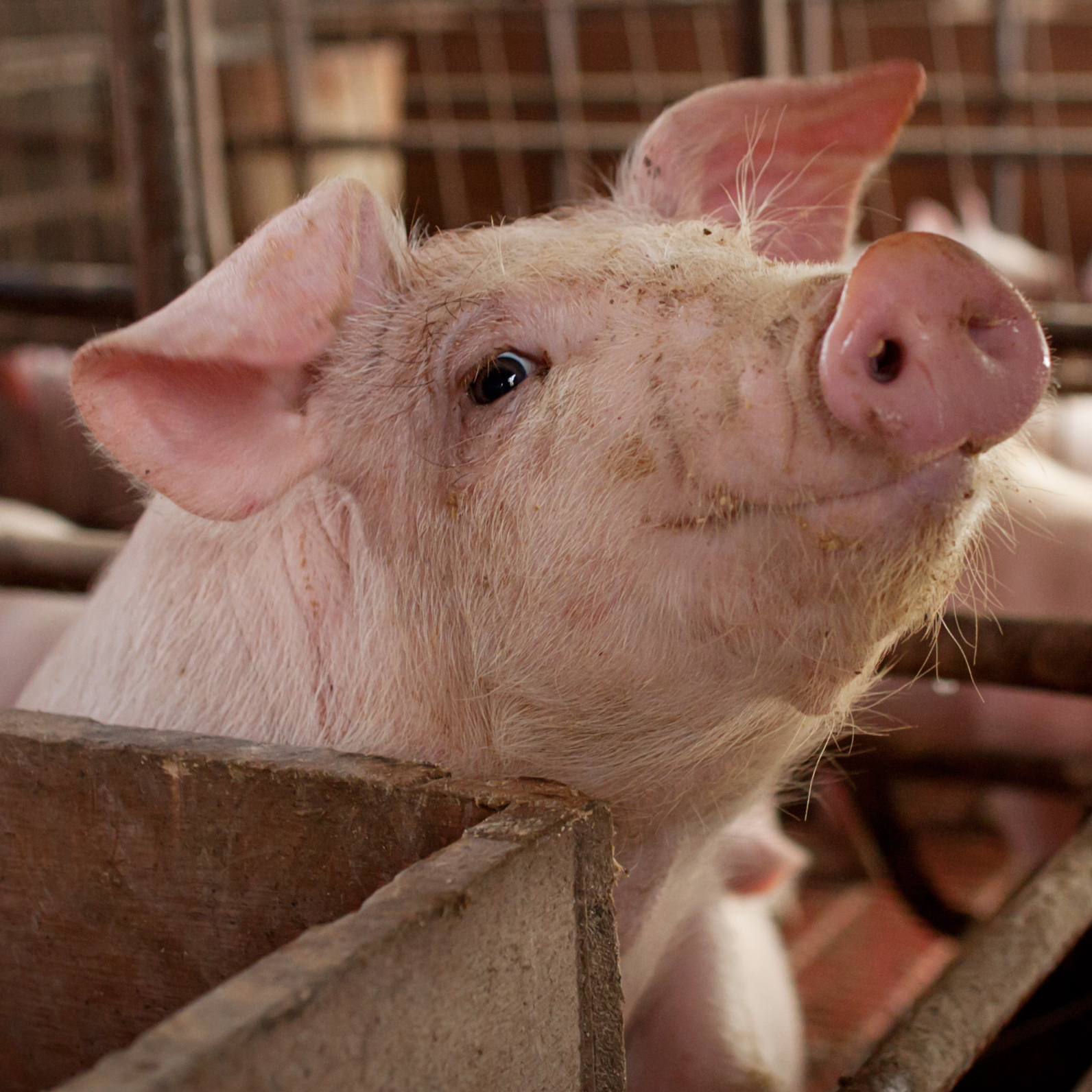Is it ethical to raise animals for slaughter and consumption?