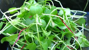 Kale and beet microgreens.