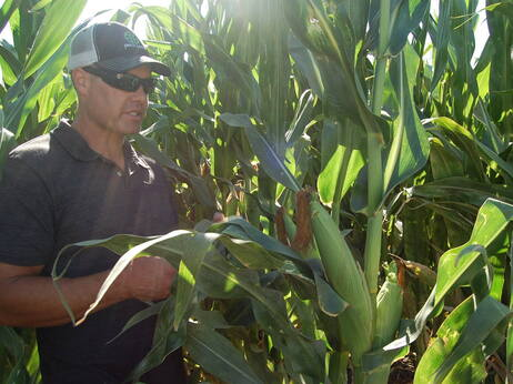 California farmer Erik Freese pulls down a healthy ear of corn that has been genetically engineered to produce its own pesticide. He says genetic engineering has helped him to farm more sustainably.