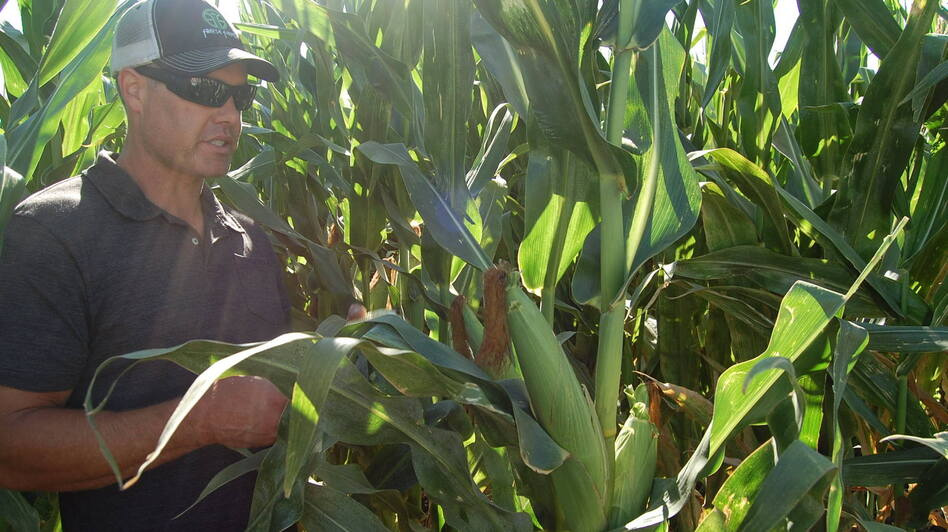 California farmer Erik Freese pulls down a healthy ear of corn that has been genetically engineered to produce its own pesticide. He says genetic engineering has helped him to farm more sustainably. (Kathleen Masterson for NPR)