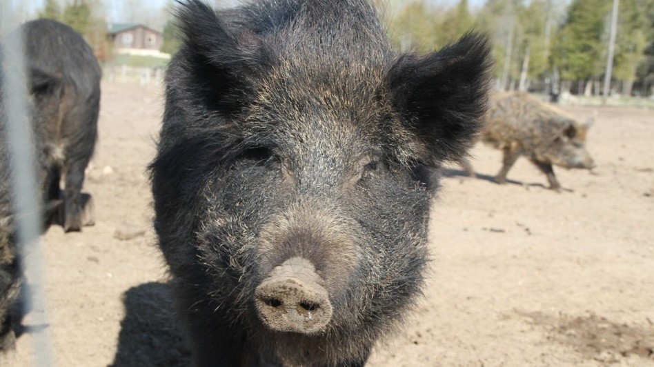 A Russian sow on Mark Baker's farm. Four other parties have joined Baker's lawsuit against the Michigan Department of Natural Resources. (Courtesy of Long Haul Productions)