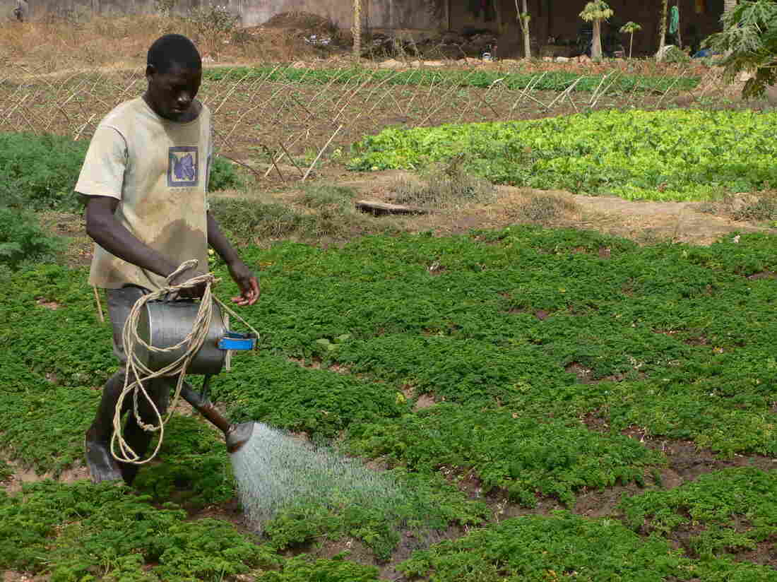 An urban farmer waters his plants near Bamako, Mali, where the government has set aside nearly 250 acres for market gardens.