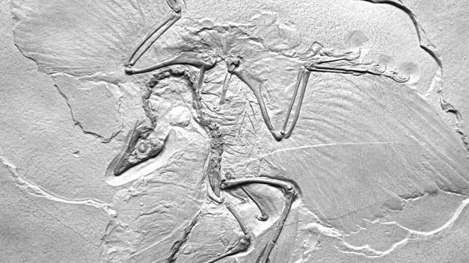 "Thor Hanson's own cast of Archaeopteryx lithographica presents what he calls the ""ancient wing written in stone."""