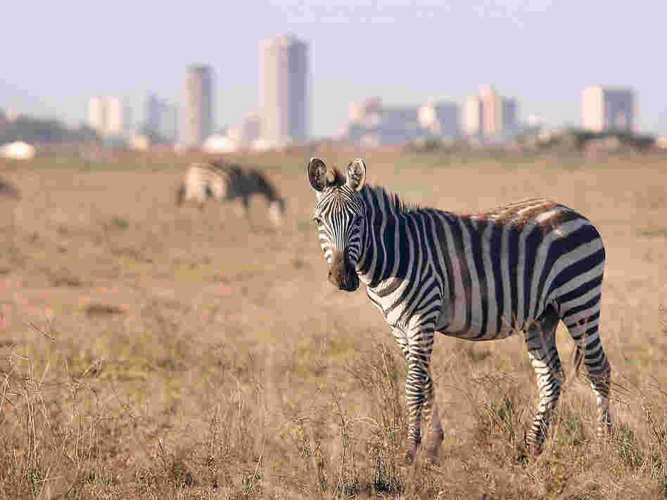 Zebra roam free in front of the Nairobi skyline at the Nairobi National Park on January 8, 2008 in Kenya.